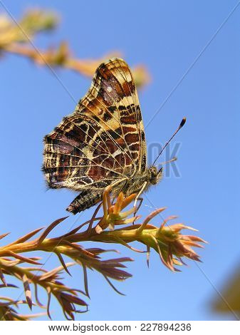 Motley Butterfly (araschnia Levana F. Levana) On The Branch Of A Juniper