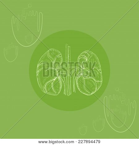 White Human  Kidneys On Round Substrate Placed On The Color Background With Simplified Nephrons. Hum