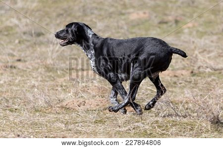 Black Dog Running On Nature . In The Park In Nature