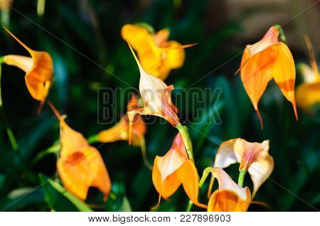 Close Up Of Several Orchid Orange Flower On Dark Background