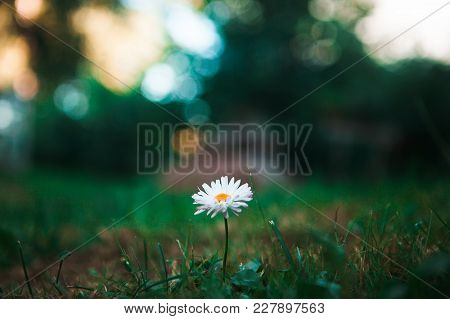 One Camomile On The Green Bokeh Background
