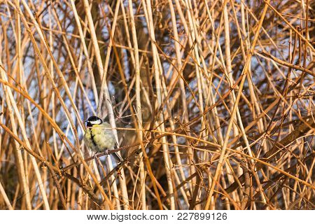 Great Tit (parus Major) Sitting On A Bush Branch In A Park