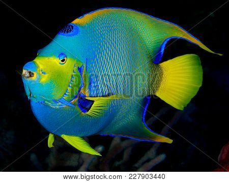 Queen Angelfish, Bright, With Dark Background And Coral