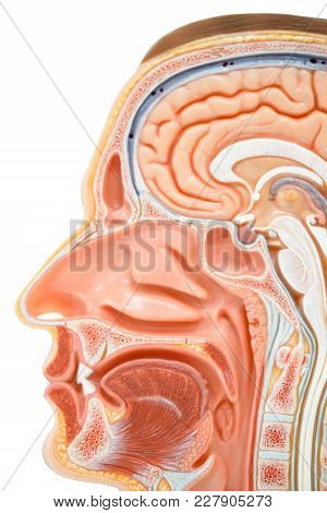 Human Head Anatomy Model For Education Physiology