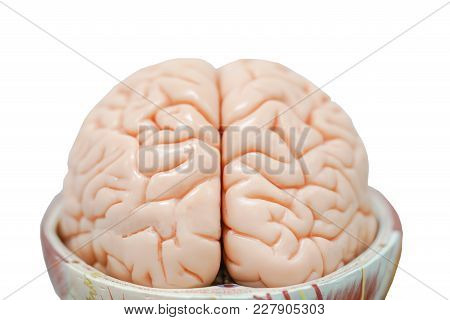 Human Brain Anatomy Model For Education Physiology