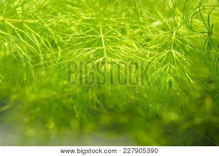 Tropical Aquatic Plant In The Freshwater Pond