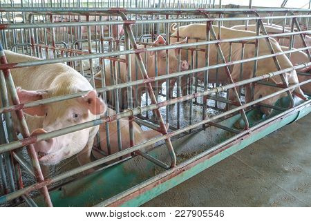The Pigs In The Farm. Swine In The Stall. Meat Industry.
