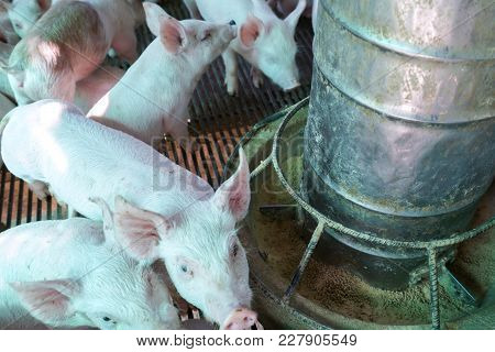 The Small Piglet In The Farm. Swine In The Stall. Meat Industry.