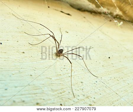 Small Spider With A Very Long Legs Creates Spider Web In The Corner