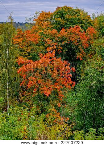 One Beautiful Tree With Red Leaves Stands Out From The Rest - Autumn Background