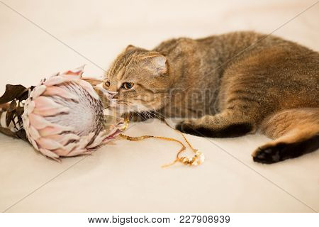 Scottish Fold Cat, Brown Tabby. The Cat Sniffs The Protea Flower.