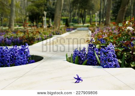 Marble Beds In The Park Decorated By Hyacinths With A Separate Flower Of A Hyacinth In Foreground