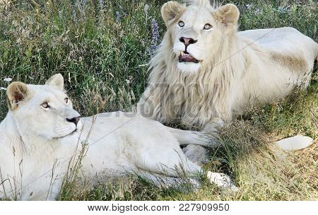 Two White Lions Lie And Have A Rest In A Grass In The Summer