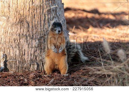 Eastern Fox Squirrel Sciurus Niger R