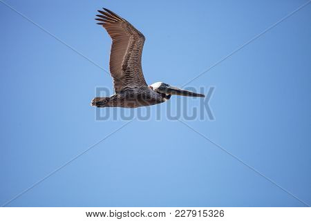 Brown Pelican Pelecanus Occidentalis Flies