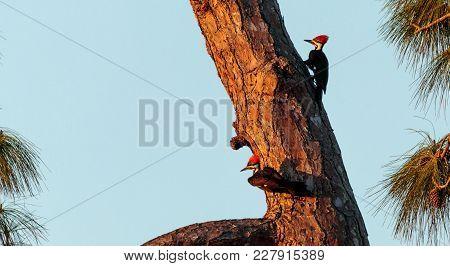 Three Juvenile Pileated Woodpecker Birds Dryocopus Pileatus