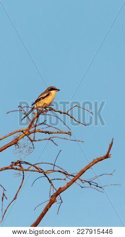 Loggerhead Shrike Bird Lanius Ludovicianus