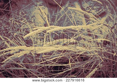 Spike And Green Grass On Blurred Background Old Stone Wall. Village Summer Landscape