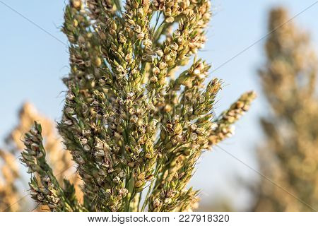 Close Up Millet Or Sorghum In Field Of Feed For Livestock