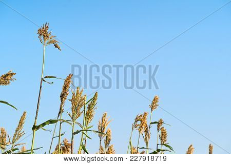Sorghum In Field Of Feed For Livestock