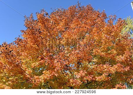Fall Orange Yellowed Tops Of Forest Fall Tree With Golden Fall Leaves Extending To The Clear Blue Sk