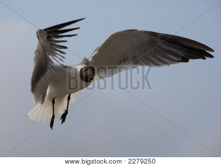 A seagull with its wings spread hovers in place poster