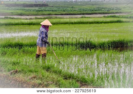 A Vietnam Woman Transplant Paddy Sprouts In The Field.