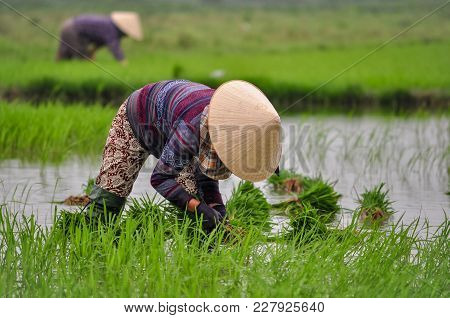 Vietnam Women Worked At The Rice Field To Grow Rice