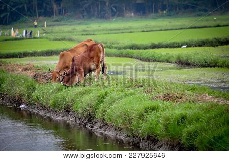 Two Cows Drank Water In The Rice Field