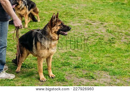 German Shepherd Dog Stands In A Field On Green Grass On A Leash From Its New Owner