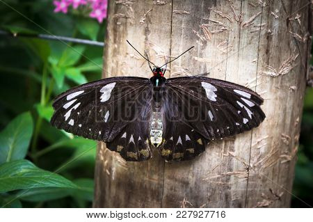 The Butterfly With Black Wings With White Spots Birdwing Ornithoptera Priamus Female Is Sitting On W