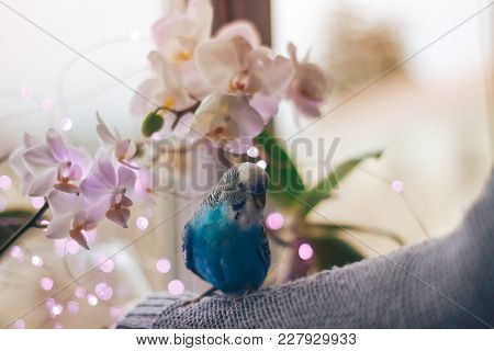 Beautiful Scalloped Blue Parrot As Budgerigar Melopsittacus On The Background Colors For