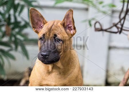 Thai Ridgeback Dog Eat Dog Food., Female Hand Patting Thai Ridgeback Dog Head., Love Between Dog And