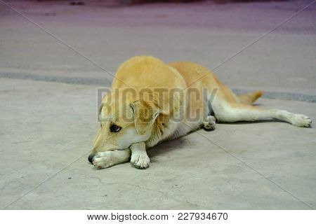 A Brown Thai Dog Sleeping On The Cement Ground Floor In Outdoor Place