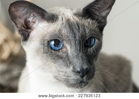 Cat Boy With Blue Eyes Close Up. Breed Of Cat Oriental Cat