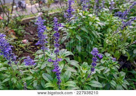 Thai Lavender Flower Plant In The Garden Field, Traveling In Thailand