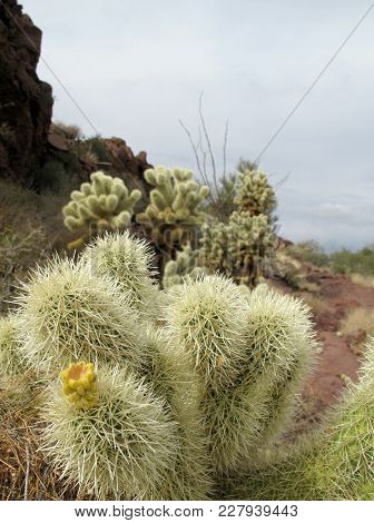 Teddy Bear Cholla Cactuses In Organ Pipe Cactus National Monument, Ajo, Arizona, Usa