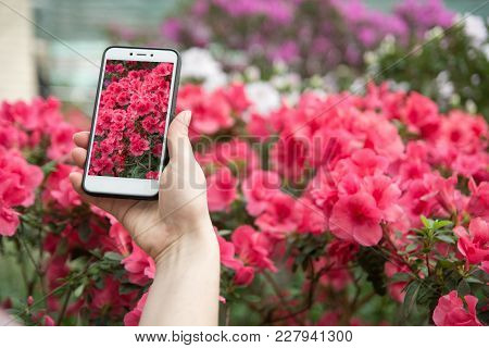 A Hand With A Phone Photographs Blooming Azaleas. A Girl Takes On Phone Blossoming Azaleas. Copy Spa