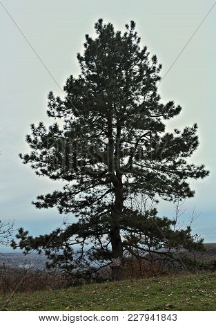 Big Conifer Tree At Top Of The Hill