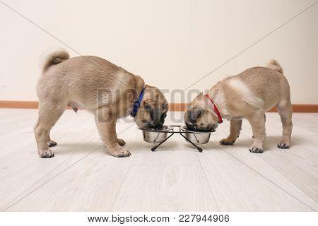 Cute pug puppies eating at home