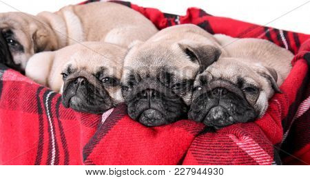 Cute pug puppies lying in box with soft plaid