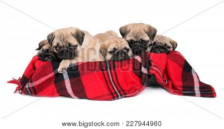 Cute pug puppies lying in box with soft plaid on white background