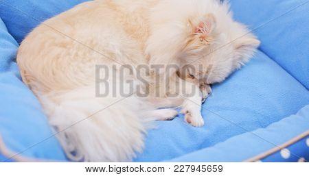 Pomeranian Dog lying on bed