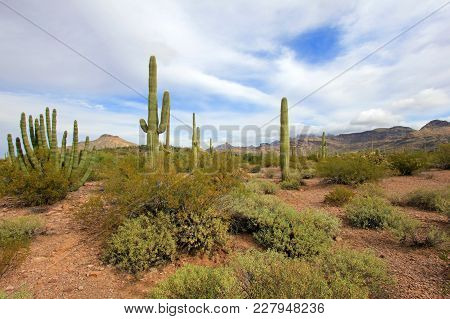 Organ Pipe And Saguaro Cactuses In Organ Pipe Cactus National Monument, Ajo, Arizona, Usa