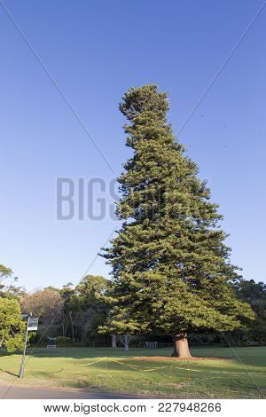 Slanted Big Cone Shaped Tree In Public Park Against Cloudless Blue Sky