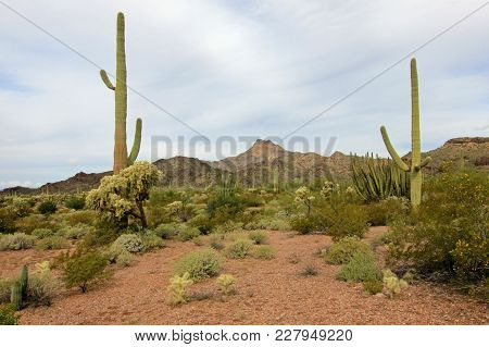Different Cactus Species In Organ Pipe Cactus National Monument, Ajo, Arizona, Usa