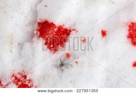 Red Blood On The Snow . In The Park In Nature