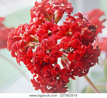 Inflorescence Of Red Small Flowers, Houseplant, Gift For The Holiday
