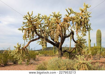 Chain Fruit Cholla Cactus In Organ Pipe Cactus National Monument, Ajo, Arizona Usa