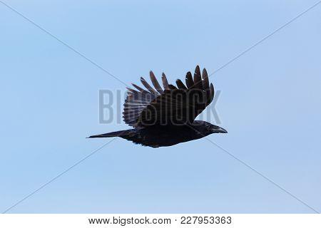 Side View Portrait Natural Carrion Crow (corvus Corone) In Flight, Blue Sky